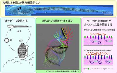 ほや図1.jpg
