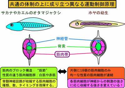 ほや図2.jpg