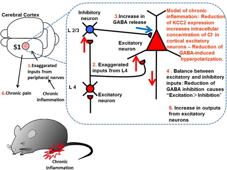 Enhanced Gabaergic Activity In The Mouse Primary