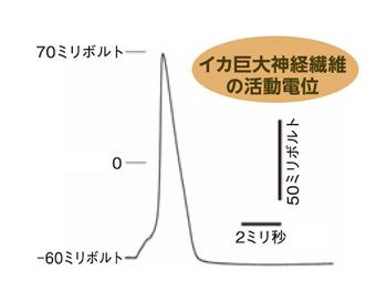 ika-hakei.jpg