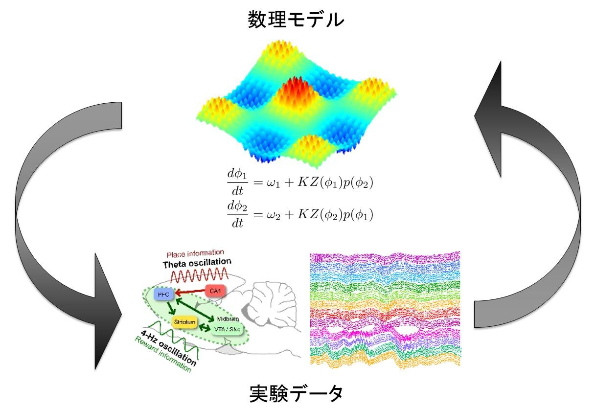 http://www.nips.ac.jp/oscillology/images/overview_b01.jpg