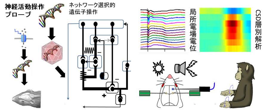 http://www.nips.ac.jp/oscillology/images/overview_c01.jpg
