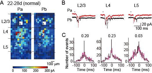 大脳皮質視覚野の微小神経回路網の形成には生後の正常な視覚体験が必要である