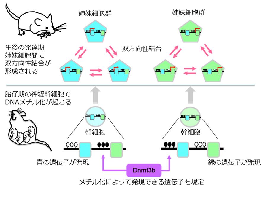 細胞系譜に依存した双方向性神経結合形成は胎生期の遺伝子発現制御により規定される