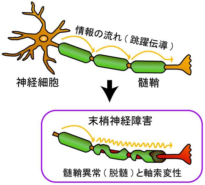 「髄鞘」の画像検索結果