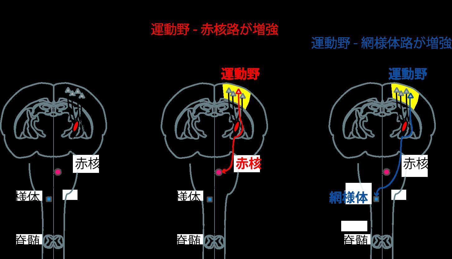 脊髄 路 皮質